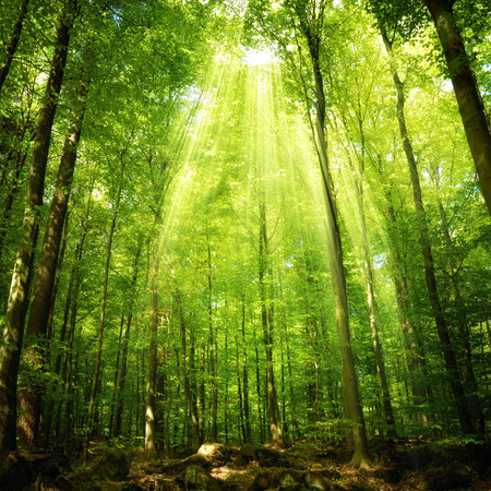 Sunbeams falling into a deciduous forest in a theatrical way and illumining the foliage