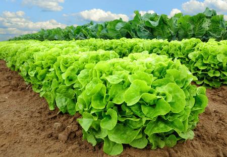 Reihen von frischem Salat Pflanzen auf einem fruchtbaren Gebiet, bereit, geerntet werden