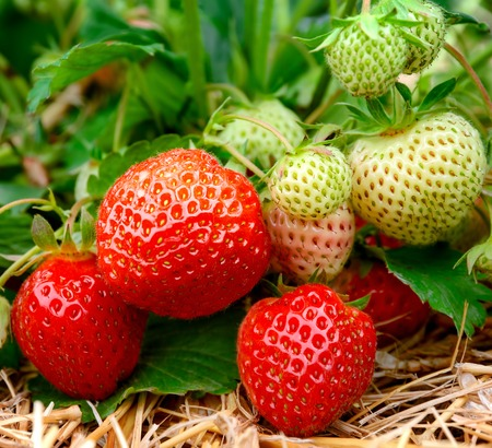 ripen: Ripe and unripe strawberries growing on the ground