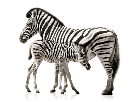 Female zebra and her baby isolated on white background with reflections