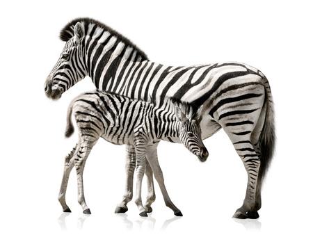 Weiblich Zebra und ihr Baby auf weißem Hintergrund mit Reflexionen Lizenzfreie Bilder