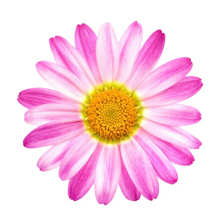 Studio closeup of a perfect pink daisy on pure white background Stock Photo