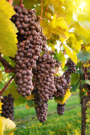 warmly: Red grape vine with ripe fruits ready to be harvested, warmly illuminated by the evening sun Stock Photo