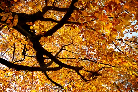 Branches of a large beech tree in vivid autumnal golden colour