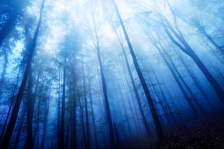 clearing: Blue twilight mood in a beech forest with bare tall trees and dense fog Stock Photo