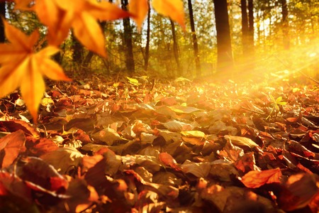 Intense, warm sunrays illuminate the dry, gold beech leaves covering the forest ground Stock Photo