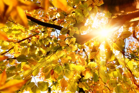 Sun beautifully shining through the branches of a large beech tree in vivid autumnal golden color Reklamní fotografie