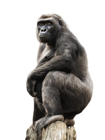 Gorilla proudly standing on a lookout, isolated on pure white
