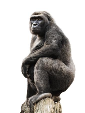 Gorilla trots staande op een uitkijkpost, die op zuiver wit
