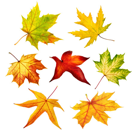 dead leaf: Set of seven different maple leaves of autumn, shot in studio on pure white background Stock Photo