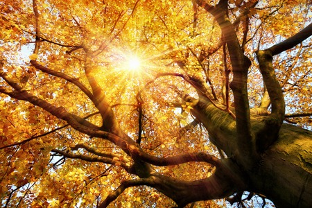 beech wood: The autumn sun warmly shining through the beautiful branches of a large beech tree in vivid golden color
