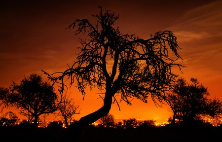 distinctive: Silhouettes of distinctive bare trees in front of an amazingly glowing orange night sky