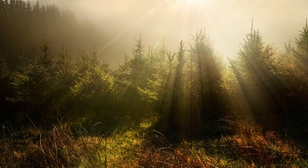 Fir trees in fog and dreamy light with a darker mood photo
