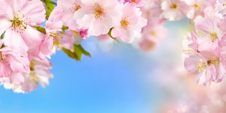 Blue and pink wide background with cherry blossoms framing the bright vibrant sky, shallow focus