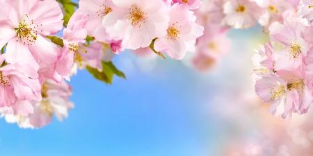 cereza: Fondo de ancho azul y rosa con flores de cerezo enmarcando el cielo vibrante brillante, foco superficial