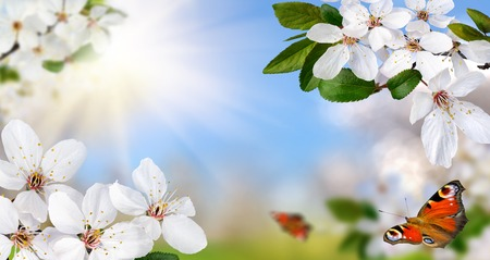 Springtime paradise with white spring blossoms, bright blue sunny sky and happy butterflies, wide format
