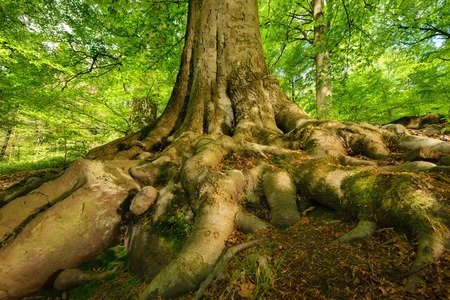 Mighty roots of a majestic old beech tree in a deciduous forest with beautiful light Stockfoto