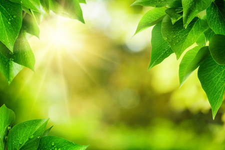 Scenic nature background of fresh lush green leaves with dewdrops, framing the out of focus vegetation with bekeh highlights and the sun, vibrant colors Stock Photo