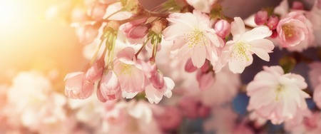 Wide format closeup of Cherry blossoms with blurred background and warm sunshine. Filtered colors in retro-style emphasize the softness of the flowers Stok Fotoğraf
