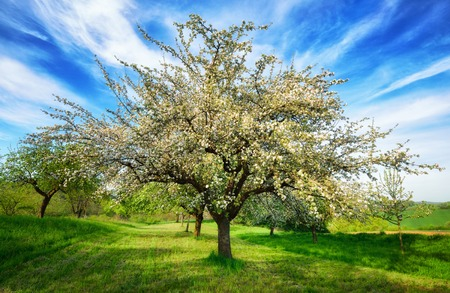 emphasized: Idyllic rural landscape in spring. A beautifully blossoming apple tree in mid-frame standing on a fresh green meadow is emphasized by a vivid sky with stripes of white clouds Stock Photo