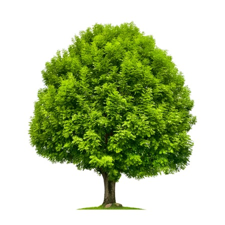 trunks: Perfect ash tree with lush green foliage and nice shape isolated on pure white background