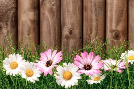 White and pink marguerite flowers on fresh green grass in front of a dark wooden fence photo
