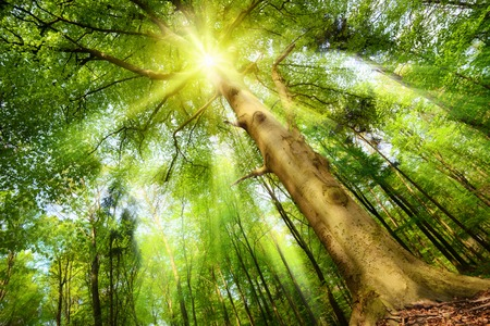 Magical mood in a fresh green forest with the sun shining through a big beech trees crown and casting beautiful sunrays