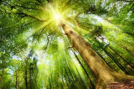 Magická nálada v čerstvém zeleném lese se slunce svítí přes velký buk koruny a odlévání krásné sluneční paprsky