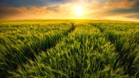 Beautiful warm colors of nature in a scenic sunset landscape with trails on a barley field leading to the setting sun