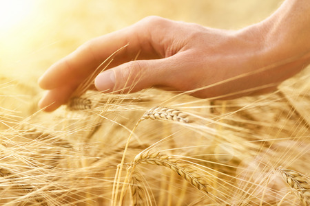 Male hand gently stroking the crop of dry cereal plants in warm soft light on a field, an agriculture shot with emotion photo