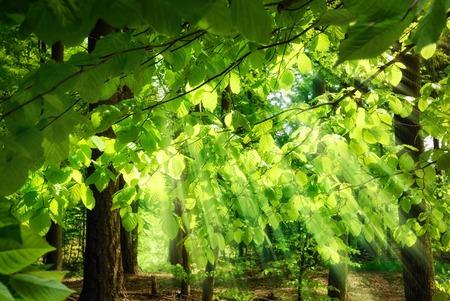 초현실적 인, 아직 만족스러운 분위기를 연출 녹색 숲에서 너도밤 나무의 신선한, 무성한 잎을 통해 떨어지는 햇빛의 광선, 스톡 콘텐츠