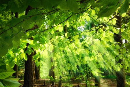 Rays of sunlight falling through the fresh, lush leaves of beech trees in a green forest, creating a surreal, yet pleasing atmosphere