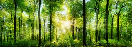 mystical forest: Panorama of a scenic forest of fresh green deciduous trees with the sun casting its rays of light through the foliage Stock Photo