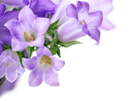 Studio shot of light purple campanula bluebell flowers isolated on pure white background