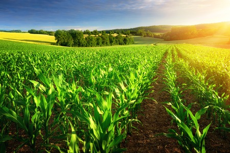 row: Rows of young corn plants on a fertile field with dark soil in beautiful warm sunshine, fresh vibrant colors