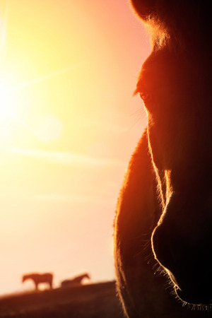 red horse: Backlit closeup portrait of a horse on a paddock and the gold sky in the background, the warm sunlight creates high contrast outlines