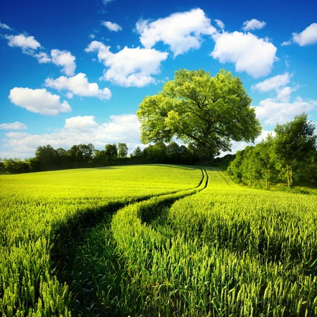 Scenic rural landscape with a green wheat field and tracks leading to a huge tree, with blue sky and white clouds in the background Stock Photo