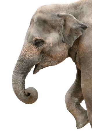 Profile portrait of a happy elephant isolated on pure white Stock Photo