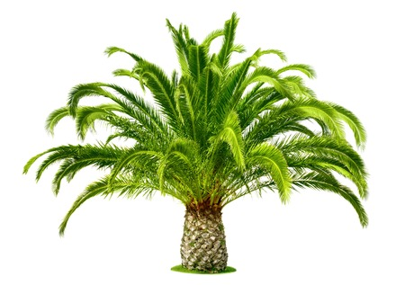 Perfect palm tree with lush, fresh green leaves and a short trunk, isolated on pure white Standard-Bild