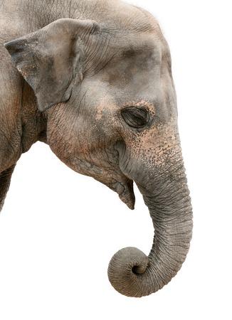 Portret van een vriendelijke Aziatische olifant op een witte achtergrond Stockfoto