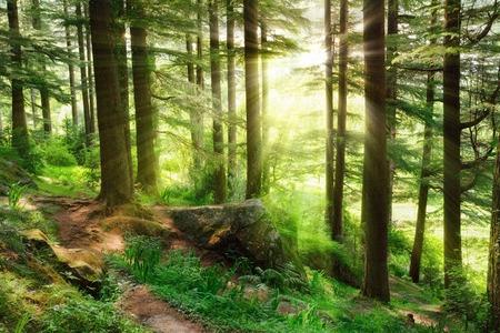 Zonnestralen verlichten een mistig bos landschap met frisse en levendige groene bladeren en een voetpad