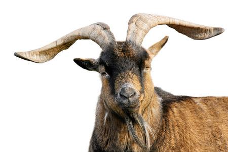 cabra: Cabra con cuernos impresionantes y piel marrón mirando a la cámara, aislado en fondo blanco