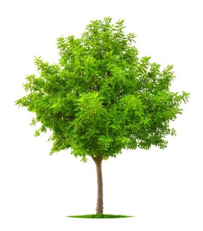 무성한 신선한 활기찬 녹색 단풍 니스 트리 순수한 흰색 배경에 고립
