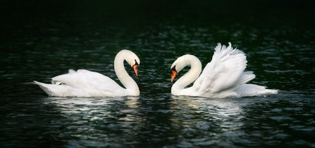mute swan: Two beautiful swans looking at each other and shining on the dark water