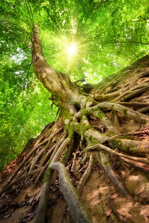 Forest scenery in worm's eye view emphasizing the roots of a beech tree, with the sun shining through the foliage Banque d'images