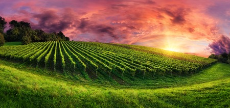 Panorama landscape with a vineyard on a hill and the magnificent red sunset sky Фото со стока