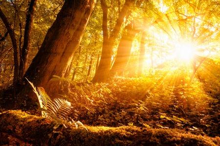 Warme zonnestralen verlichting van een boslandschap met loofbomen en gouden gebladerte