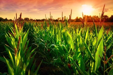 Reihen von frischem Maispflanzen auf einem Feld mit schönen warmen sunset Licht und lebendige Farben