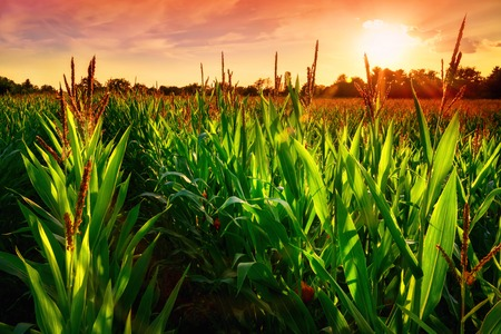 Rows of fresh corn plants on a field with beautiful warm sunset light and vibrant colors Фото со стока - 43070224