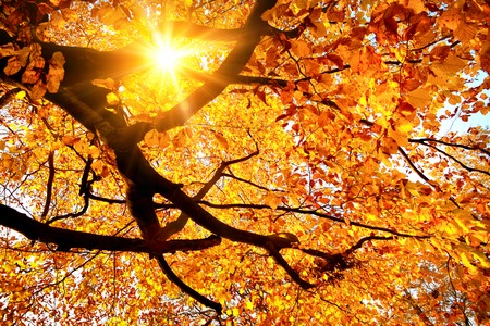 Autumn scenery with the sun warmly shining through the gold leaves of a beech tree
